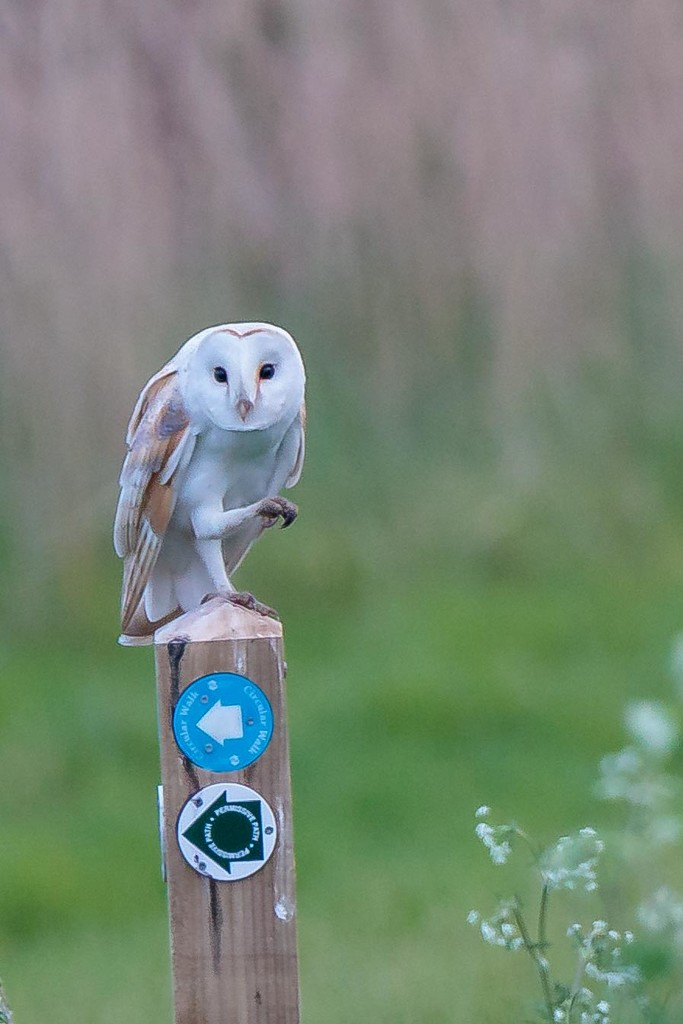 Commical Barn Owl by padlock