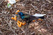 1st May 2019 - The North American Cheese-Puff Brid