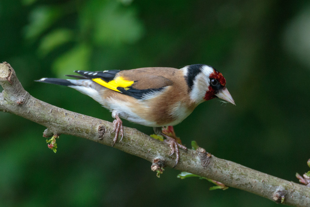 2019 05 01 - Goldfinch by pixiemac
