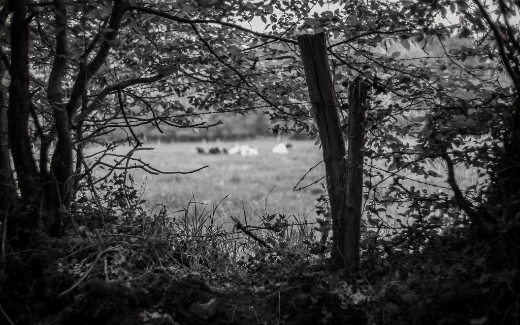 Occasional Fence Post 34... and Distant Cows! by vignouse
