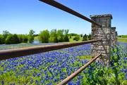1st May 2019 - Texas Bluebonnets