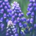Together, A Hyacinth by lyndemc