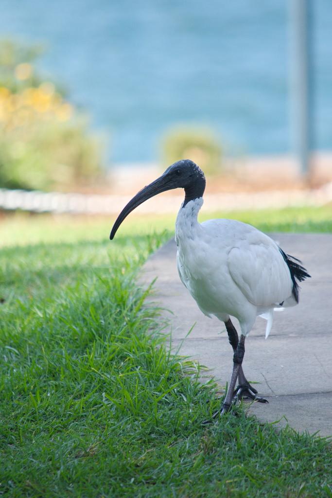 Ibis by kgolab