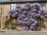2nd May 2019 - Wisteria