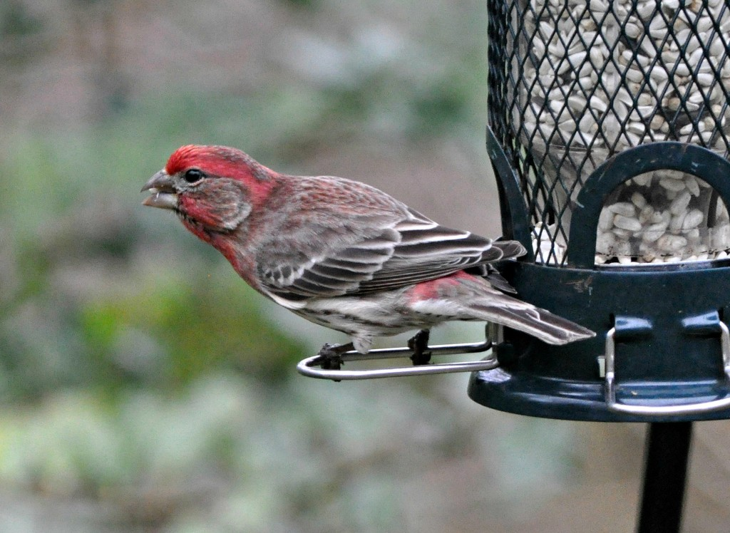 Purple finch or house finch? by sailingmusic