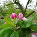 went to Acorn Bank for apple blossom