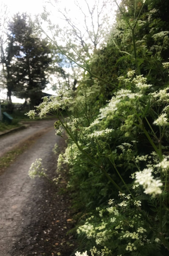 Cow parsley  by happypat