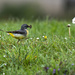 Grey Wagtail by shepherdmanswife