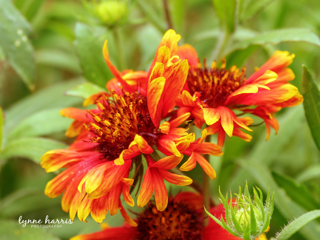 Indian Blankets by lynne5477