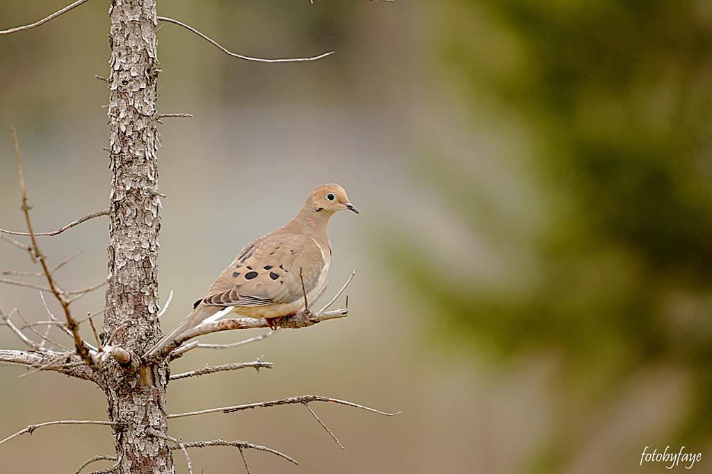Pretty little dove! by fayefaye