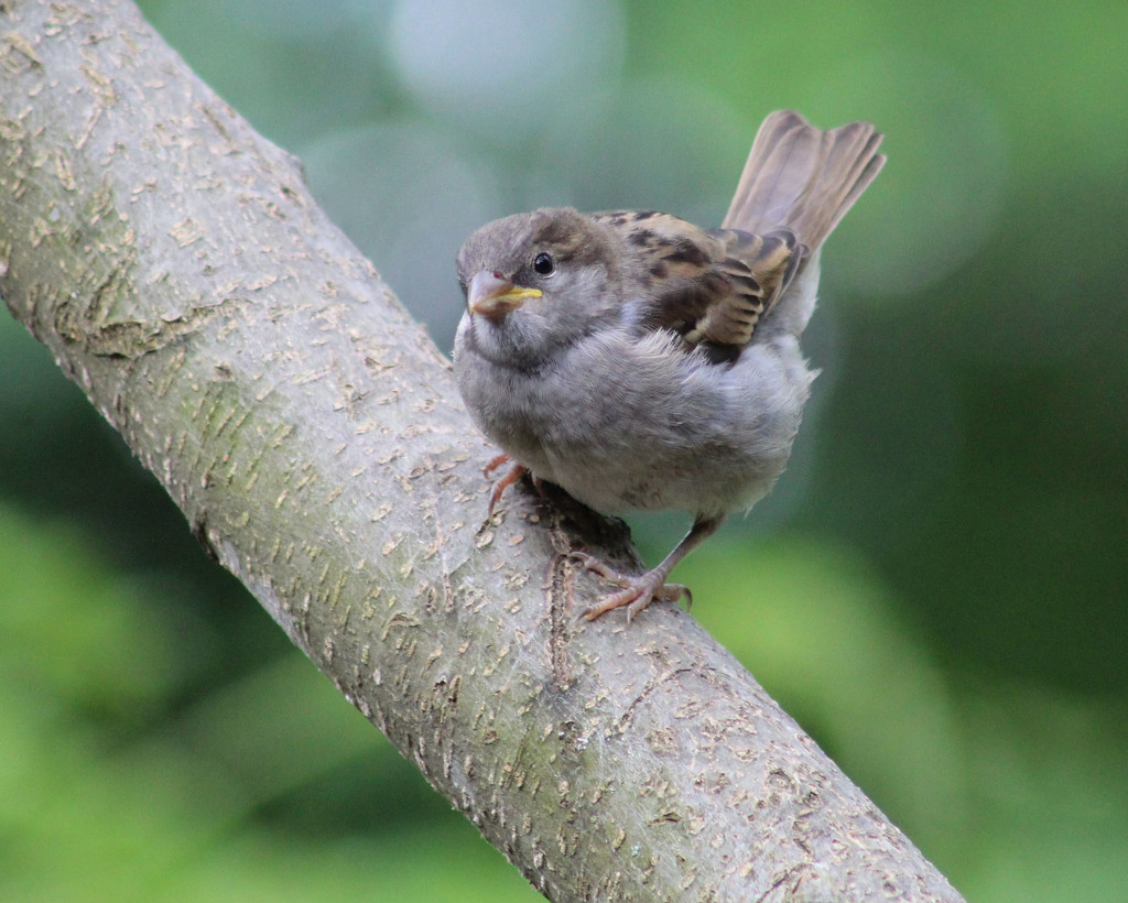 Baby Sparrow by cjwhite