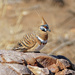 Spinifex Pigeon by judithdeacon