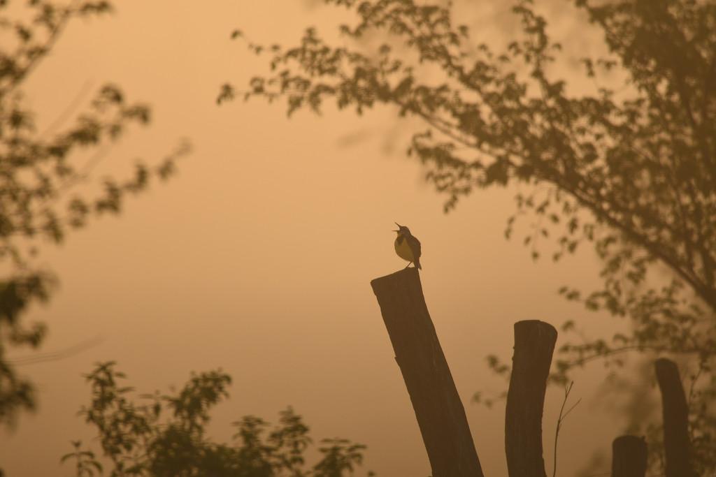 Meadowlark Sings in a Foggy Sunrise by kareenking