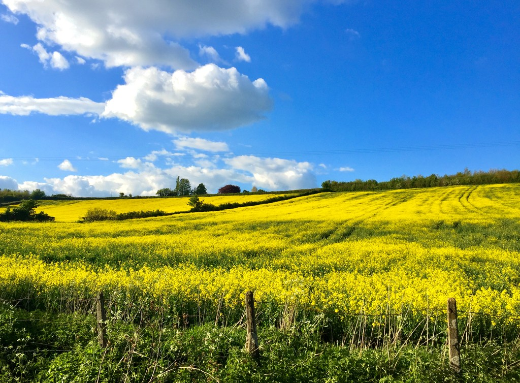 Field of Rapeseed  by lilaclisa