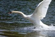 4th May 2019 - Swan at his antics!