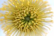 2nd May 2019 - Pincushion Flower