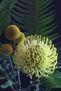 3rd May 2019 - Yellow Pincushion Flower
