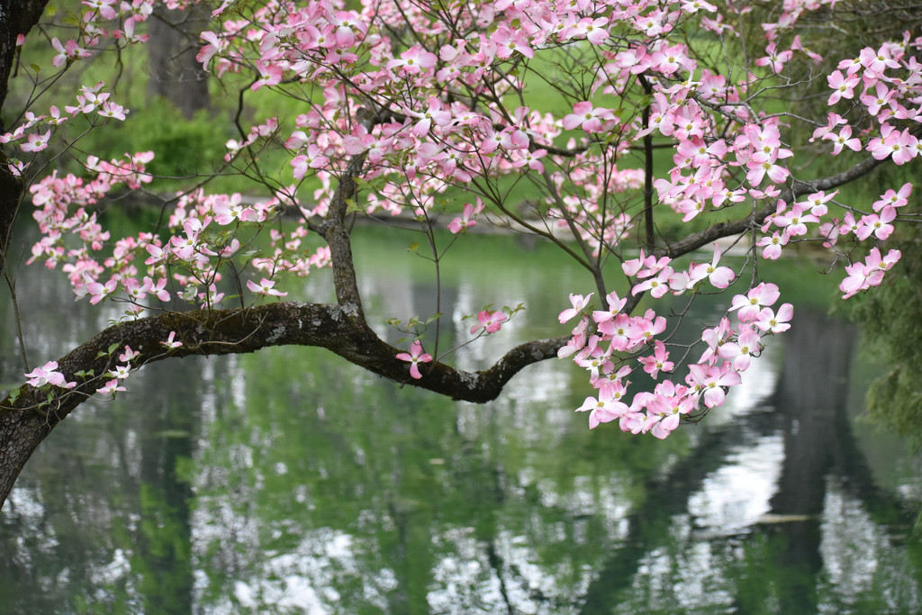 Dogwoods over the Water by alophoto
