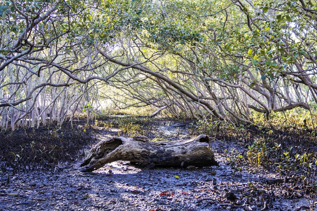 mangrove log  by corymbia