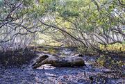 5th May 2019 - mangrove log
