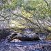 mangrove log