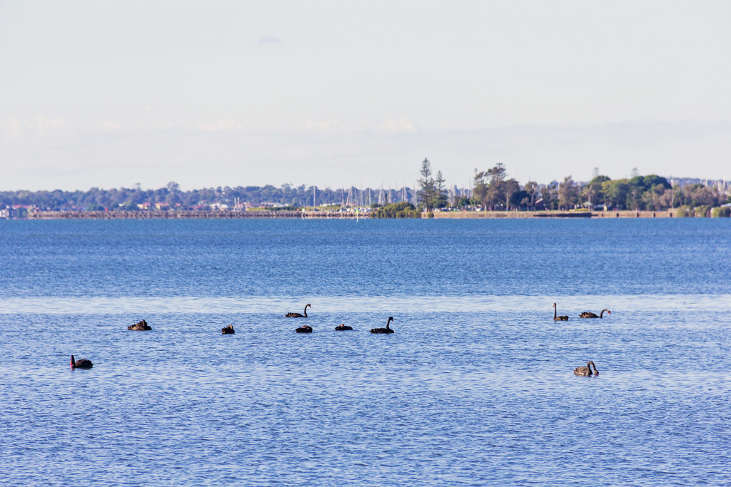 swans by corymbia
