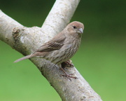 4th May 2019 - Young House Finch