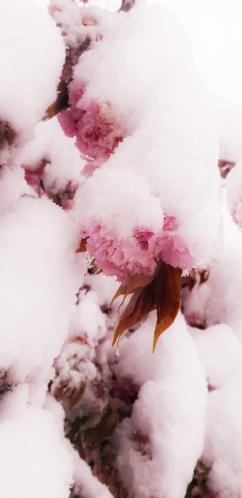 Cherry blossom by roulin