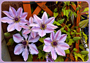 5th May 2019 - Clematis
