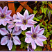 Clematis  by beryl