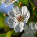 Flowering Pear Blossom