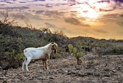 5th May 2019 - Aruba Goat Sunrise