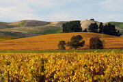 5th May 2019 - Autumn in the vineyard