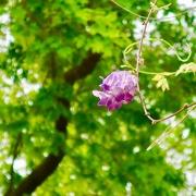 6th May 2019 - A Botanic Garden Wisteria