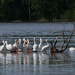American White Pelicans, Rolling On The River by lsquared