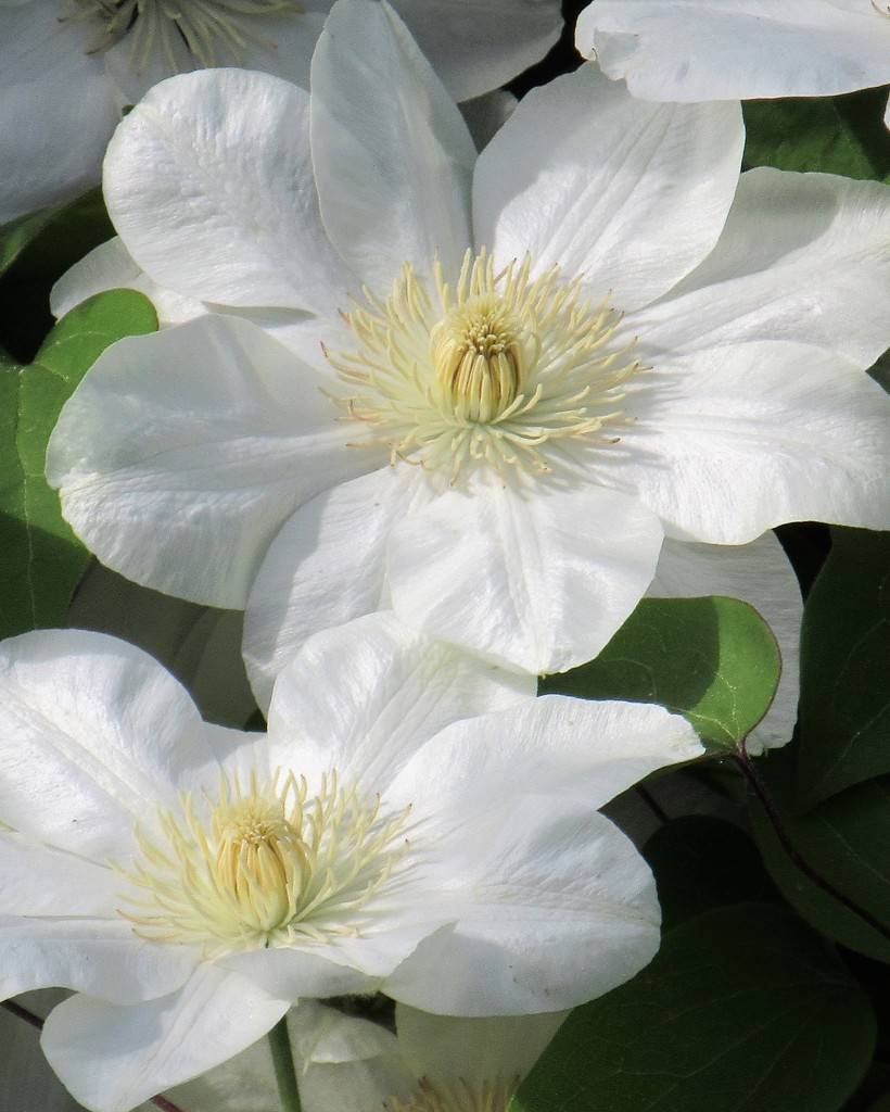 May 6: Clematis by daisymiller
