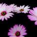 Floating petals by peadar