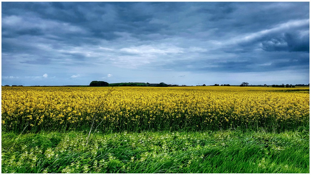 Drive by shot of rapeseed fields - just love the colour they bring to our countryside by lyndamcg