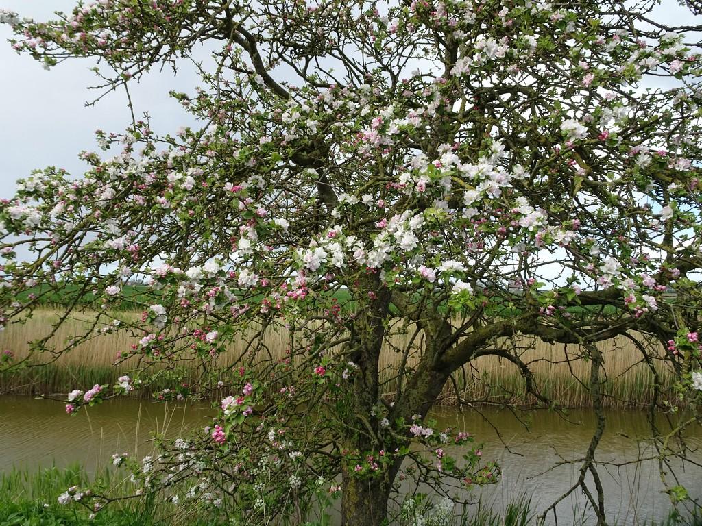 apple tree by gijsje
