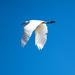 Egret flight by sugarmuser