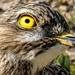 Dikkop up close, by ludwigsdiana