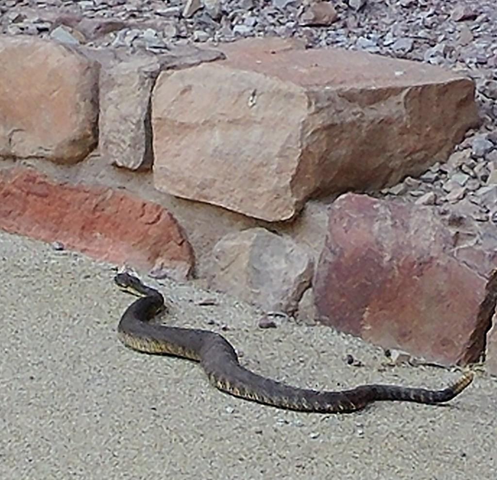 Arizona Black Rattlesnake by harbie