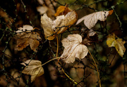 7th May 2019 - Trapped by spines - fallen leaves