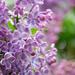 Lilac Season by gq