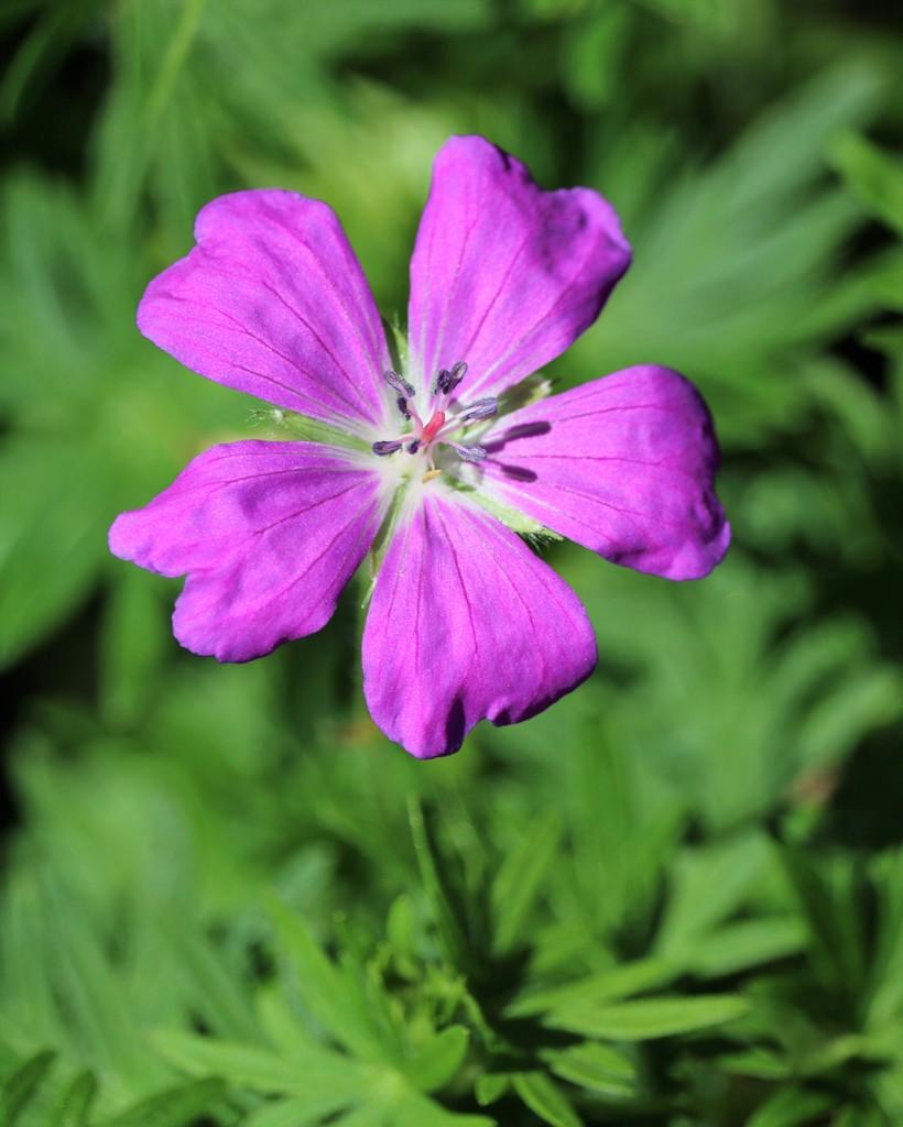 May 7: Wild Geranium by daisymiller