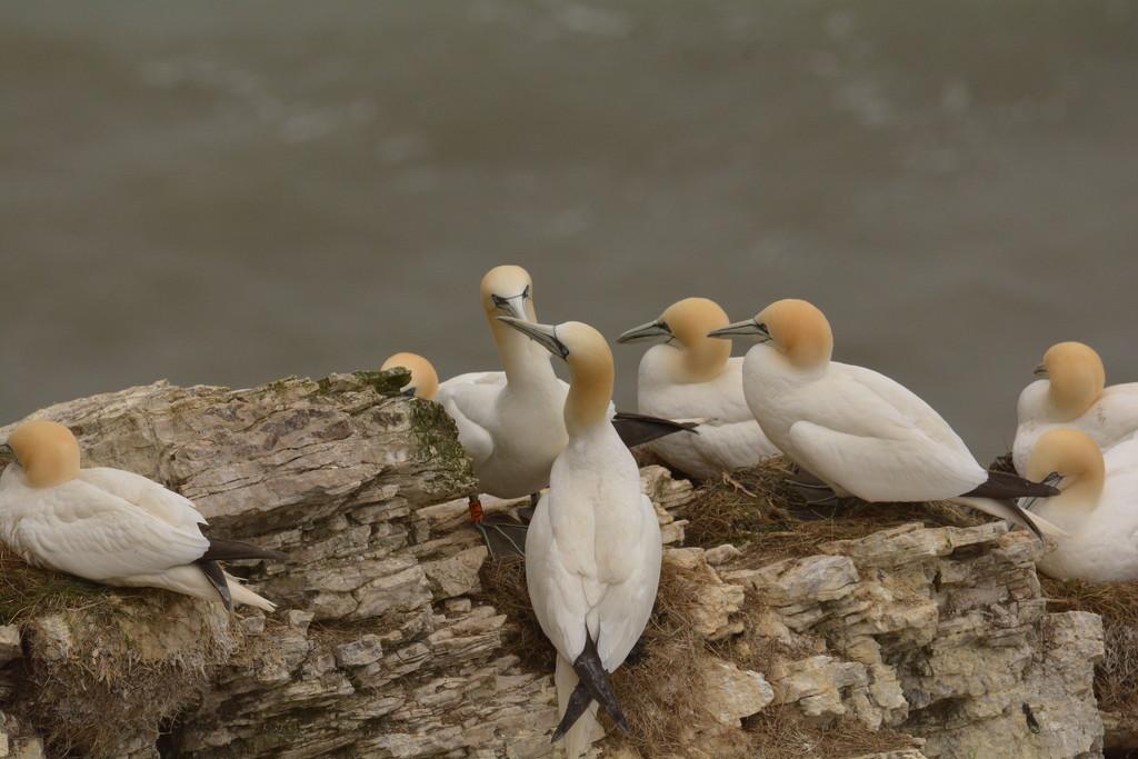 Gannets on the ridge...... by ziggy77