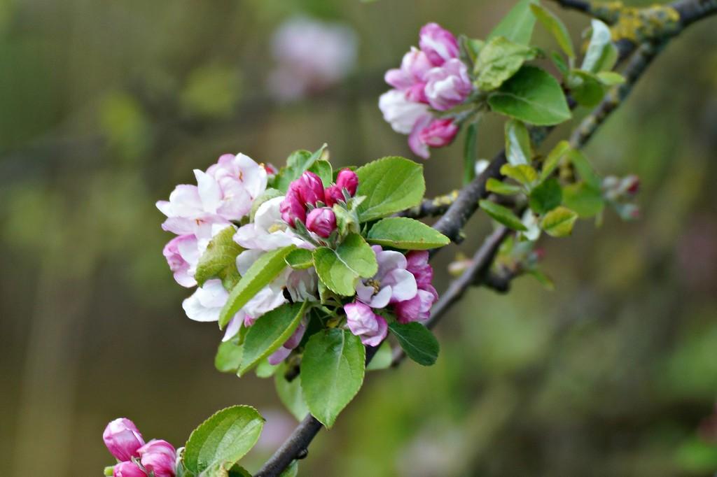 apple blossom by gijsje