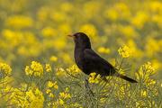 6th May 2019 - Blackbird on yellow