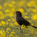 Blackbird on yellow by inthecloud5