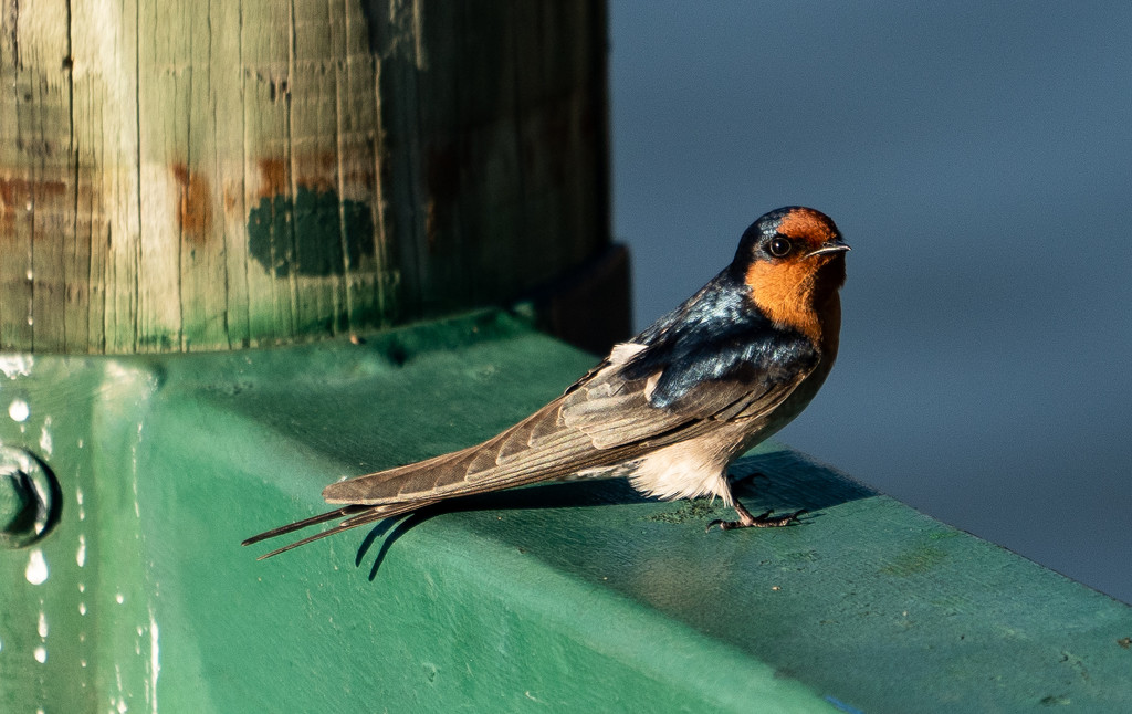 Swallow by sugarmuser